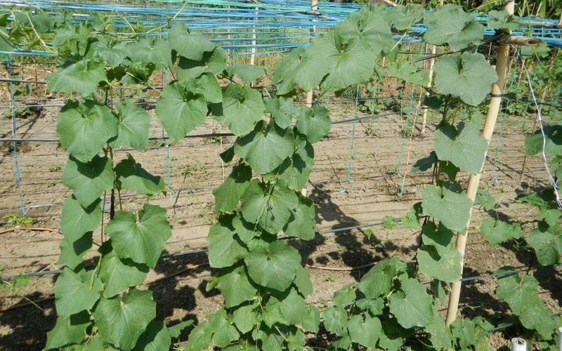 Выращивание люффы из семян в домашних условиях 358