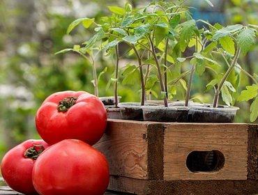 Выращивание рассады помидоров: технология посадки и ухода