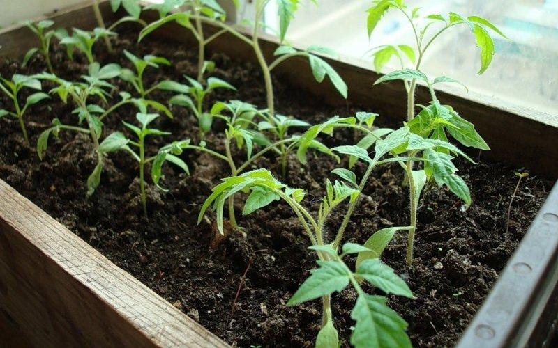 Как правильно вырастить хорошую рассаду помидоров в домашних условиях