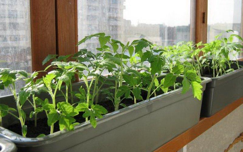 Как вырастить крепкую и здоровую рассаду помидоров из семян дома на подоконнике