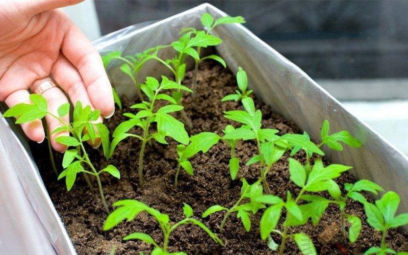 Технология выращивания рассады томатов: пикировка