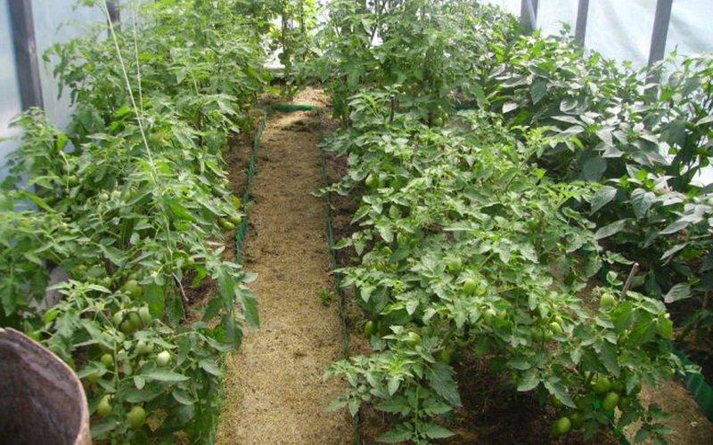 Выращивание рассады помидоров в теплице (с видео)