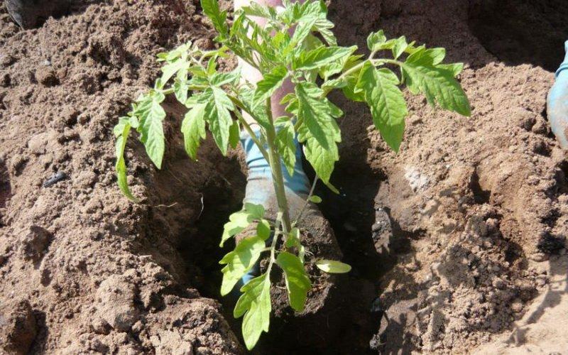 Подготовка к посадке томатов в открытый грунт рассадой