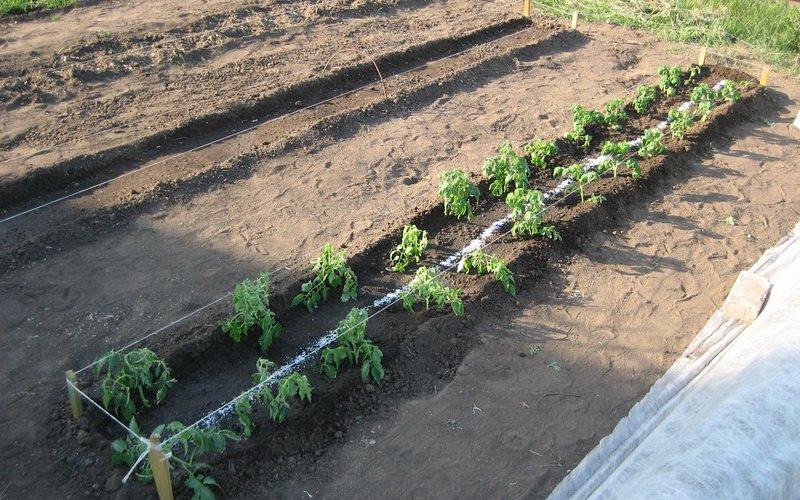 Как сажать помидоры в открытый грунт: высадка рассады томатов