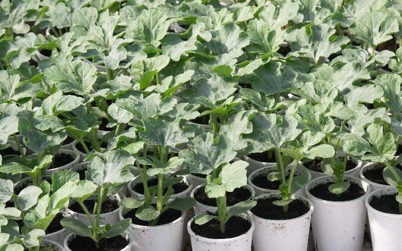 Агротехника выращивания рассады арбузов