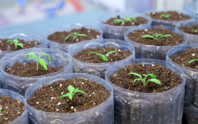 Технология посева семян для выращивания рассады баклажанов