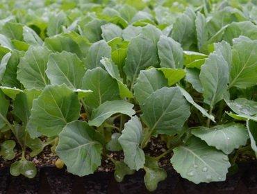 Как вырастать рассаду капусты 49