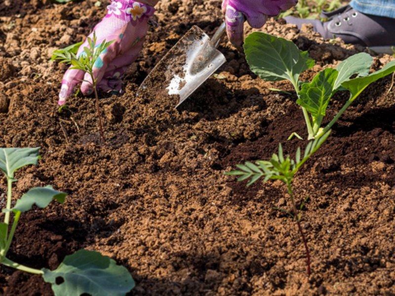 Как посадить капусту на рассаду в открытом грунте