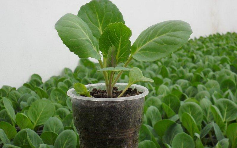 Сроки посадки, агротехника и условия выращивания капусты дома