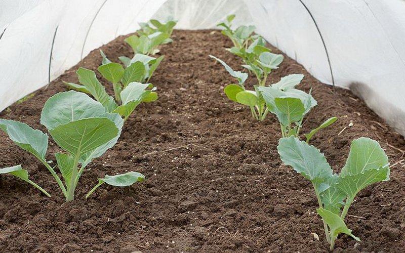 Посев, выращивание и уход за рассадой капусты в теплице