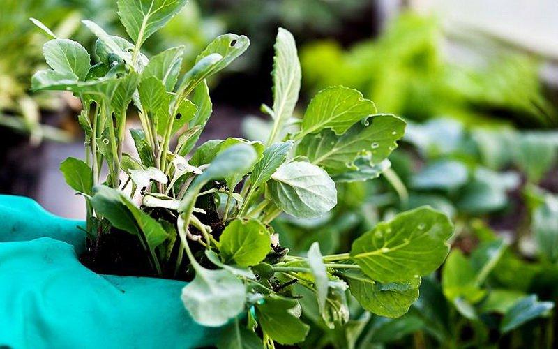 Посадка семян кольраби на рассаду