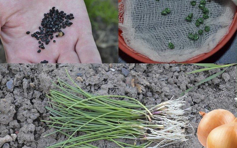 Технология выращивания лука на семена 41