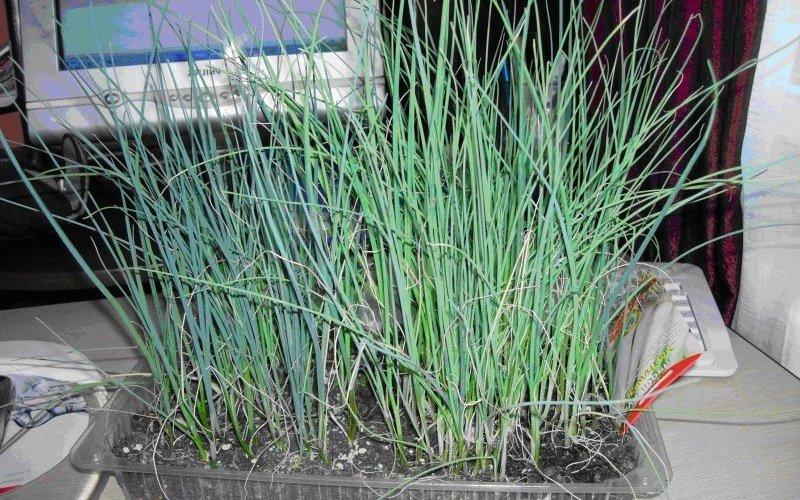 Выращивание лук порея через рассаду 501