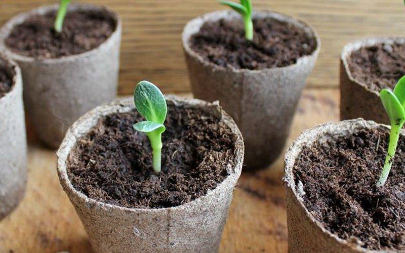 Как ухаживать за рассадой огурцов: удобрение и подкормка после появления всходов