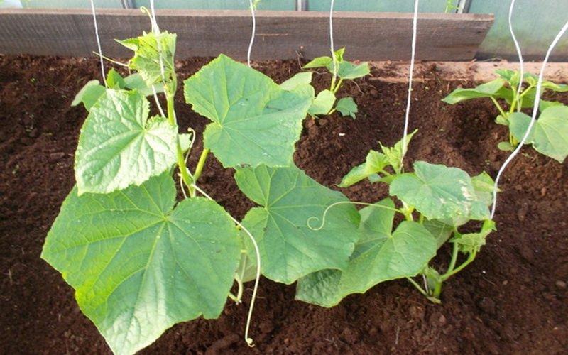 Как правильно посадить рассаду огурцов в теплице: посадка семян (с видео)