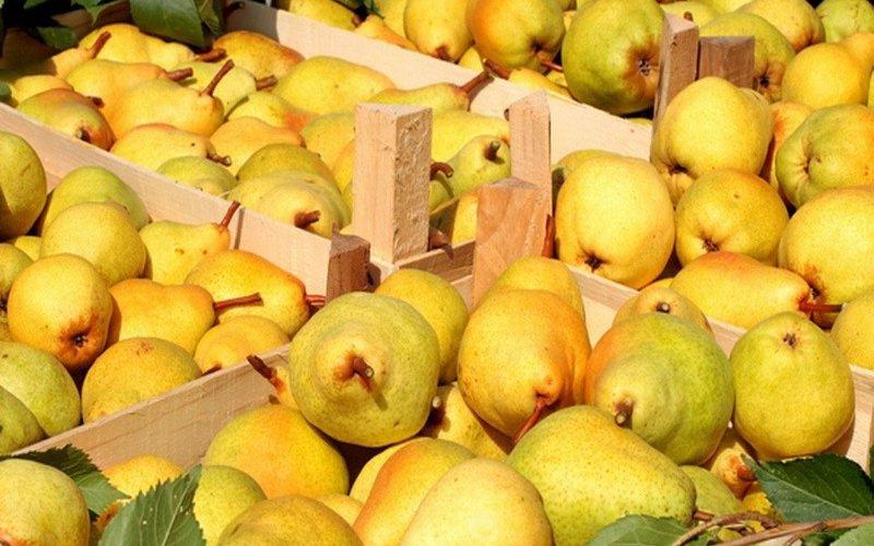 Как хранить яблоки и груши фото