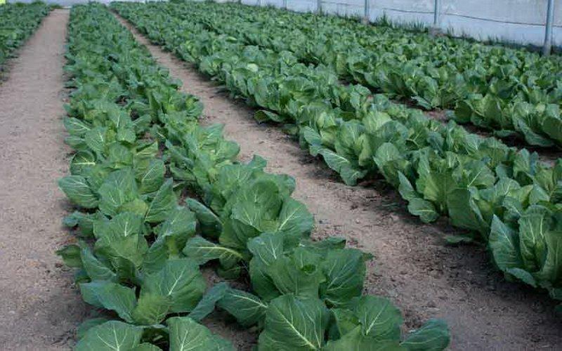 Подготовка почвы к выращиванию рассады цветной капусты в теплице