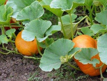 Посадка и выращивание рассады тыквы