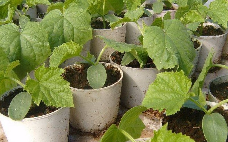 Как сажать семена тыквы на рассаду
