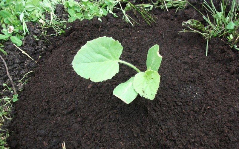 Высадка рассады тыквы в грунт после посева семян