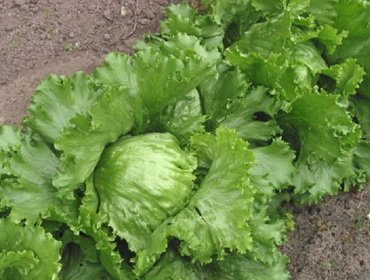 Рассада кочанного салата: как вырастить и чем подкормить