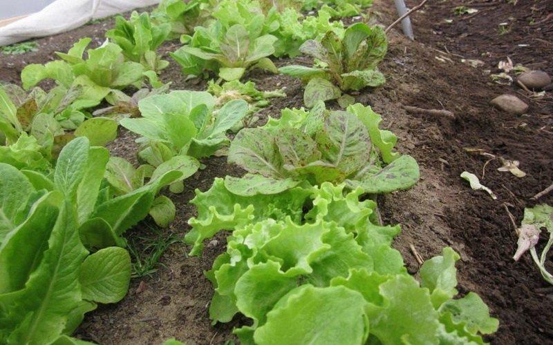 Подготовка почвы перед  посадкой рассады салата