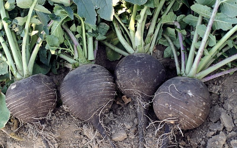 Как лучше хранить свежие овощи: хранение свеклы, редьки и репы фото