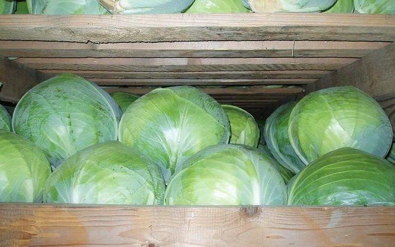 Температурный режим и виды хранения овощей семейства Капустных