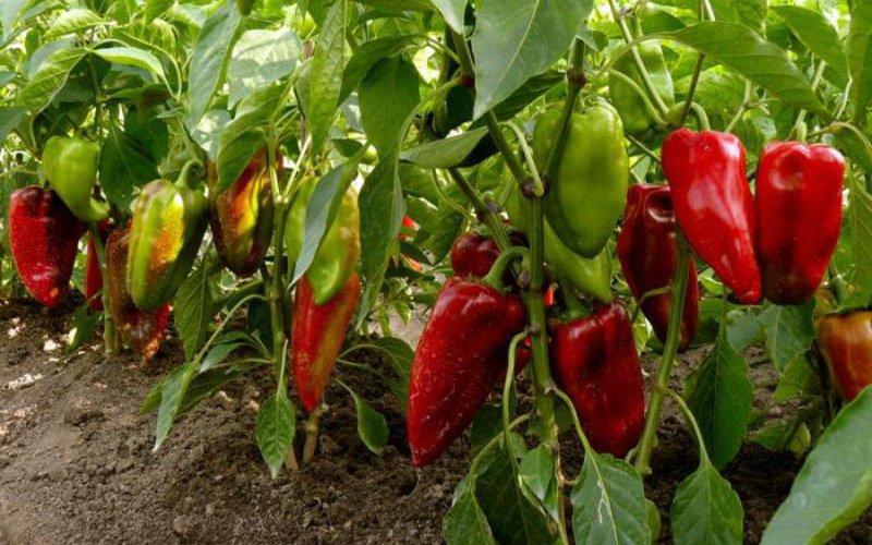 Выращивание перца в открытом грунте - Агроинфо