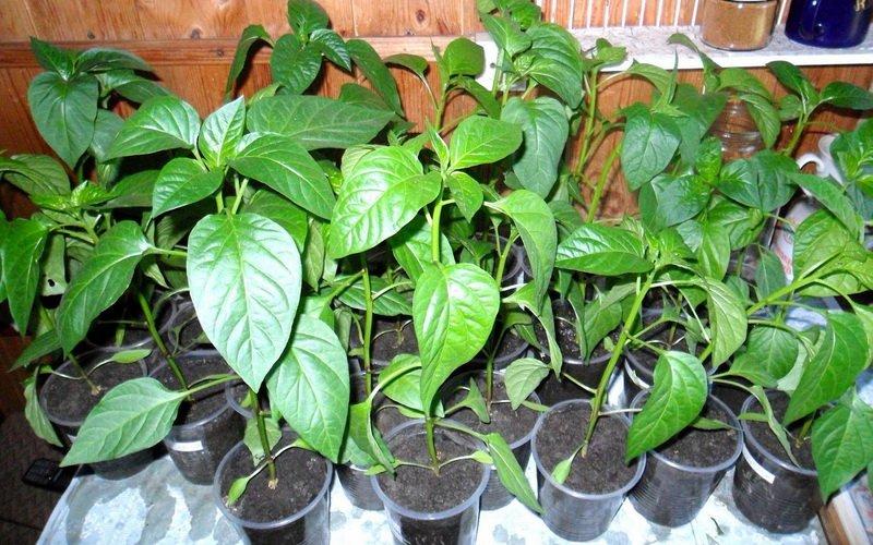 Агротехника выращивание перца: посадка семян на рассаду