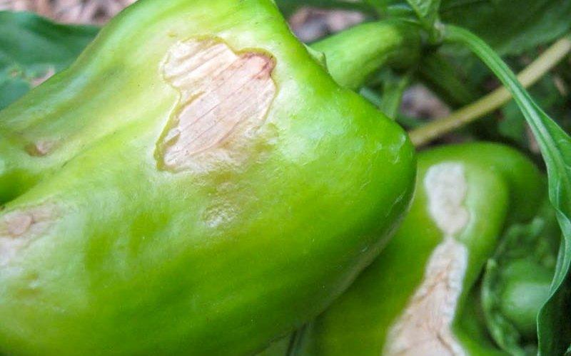 Вредители и болезни перца: фото и меры борьбы фото