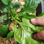 Горький перец выращивание в открытом грунте посадка и уход с фото и видео