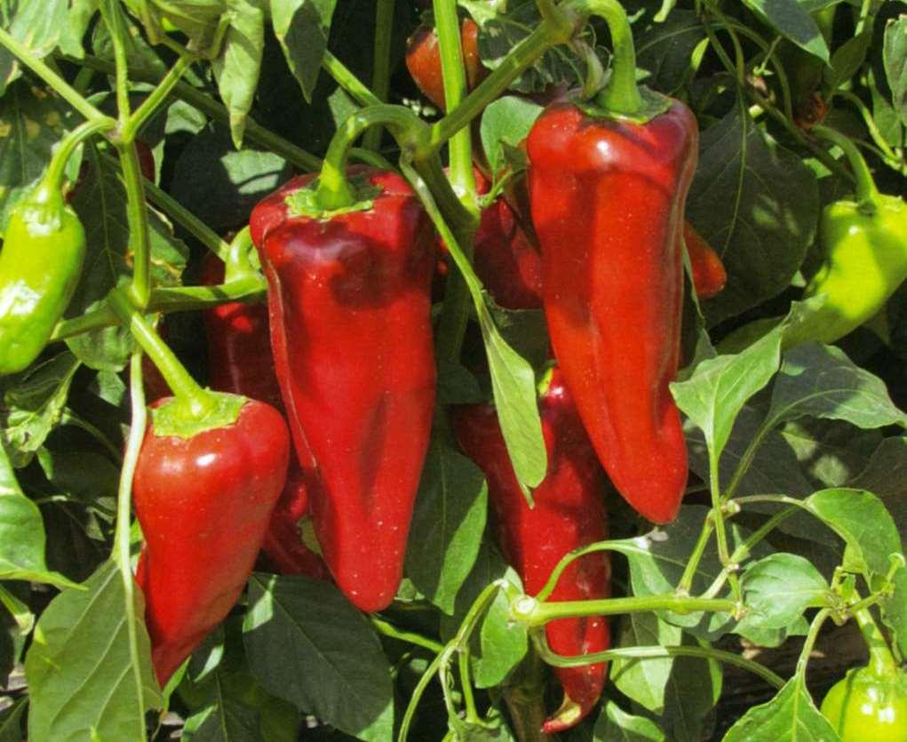 Выращивание перца и описание лучших сортов