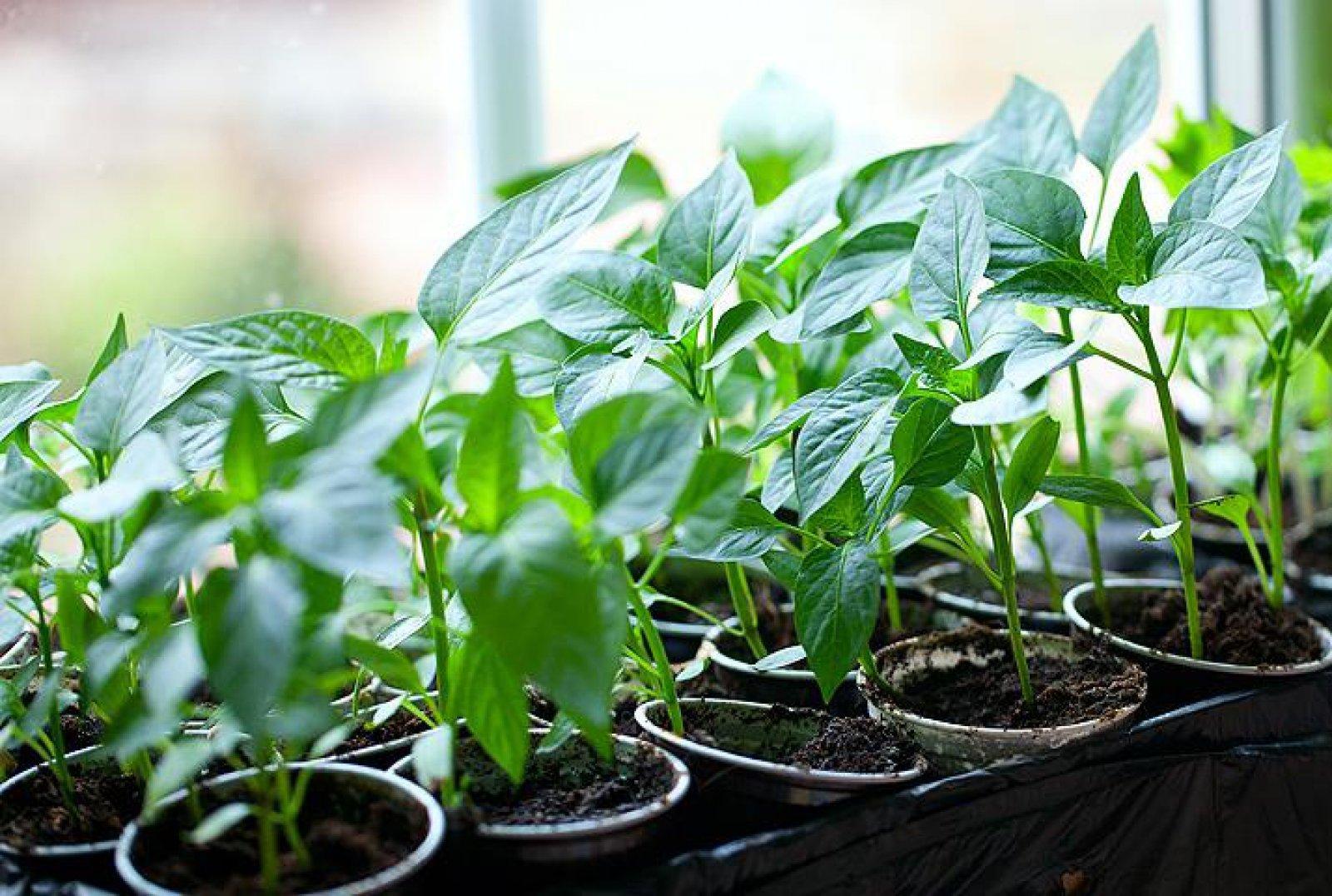 Технология выращивания рассады болгарского перца