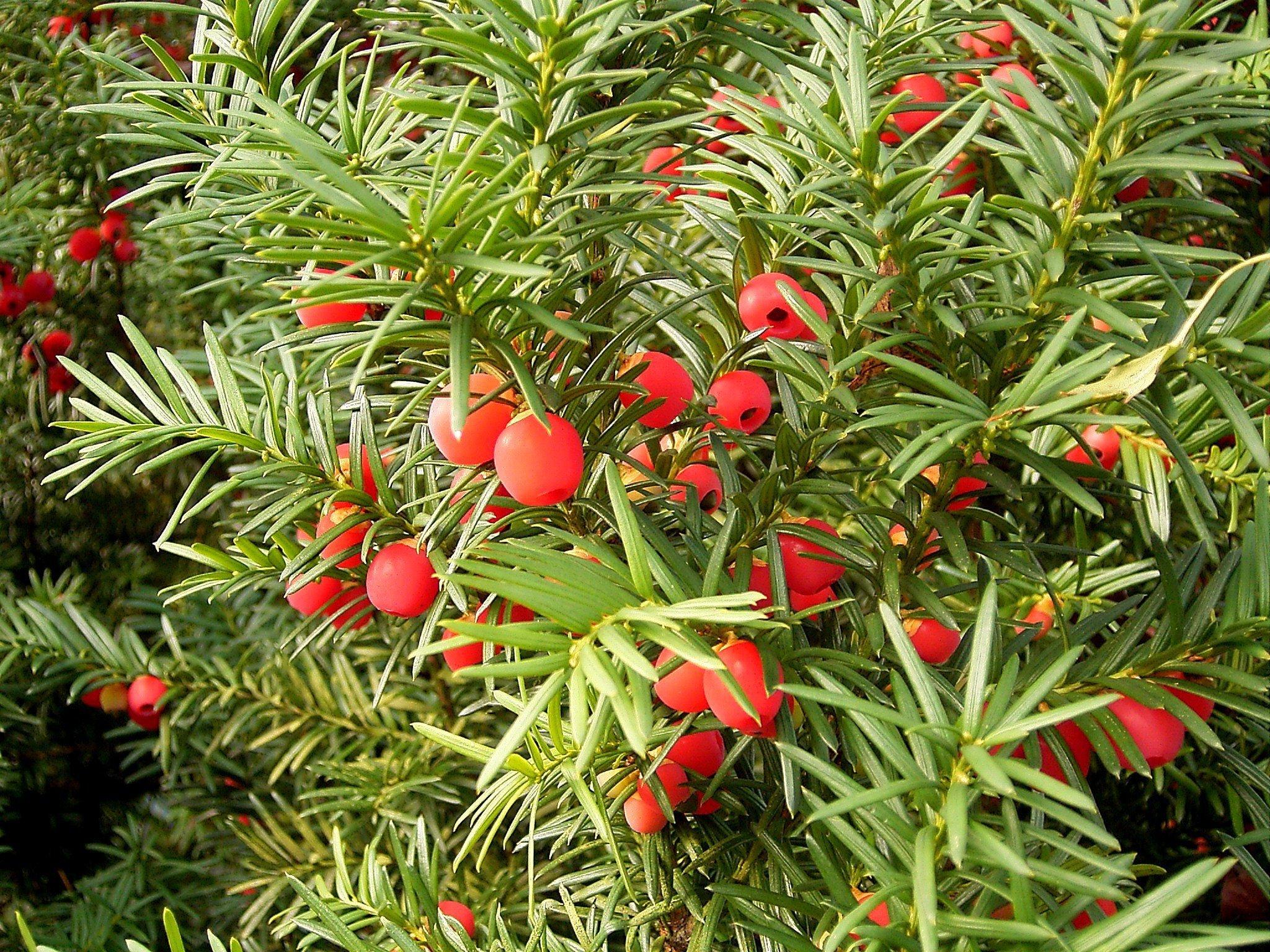 Тис: виды и сорта, выращивание и уход