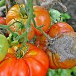 Как бороться с вредителями томатов в теплице