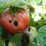Вредители томатов (помидор) – как с ними бороться?
