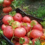 Томат Санта Клаус: описание и характеристика сорта, выращивание и уход с фото