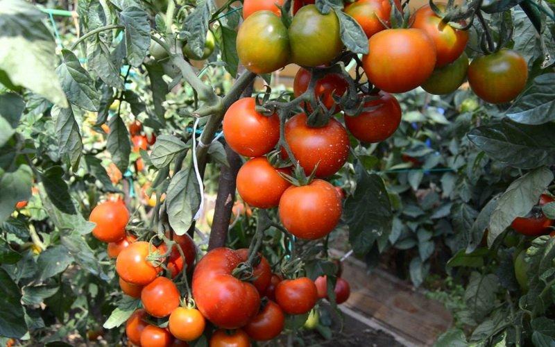 Условия и технология выращивания томатов в открытом грунте