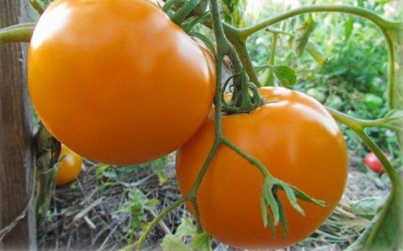 Лучшие желтые сорта томатов и их фото