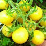 Черные помидоры: характеристика и описание сортов для открытого грунта и теплиц с фото