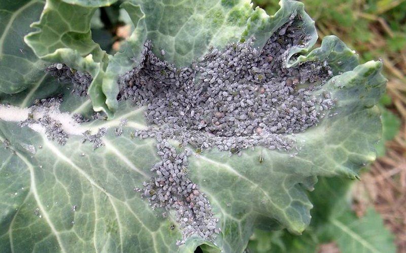 Насекомые-вредители капусты в открытом грунте фото