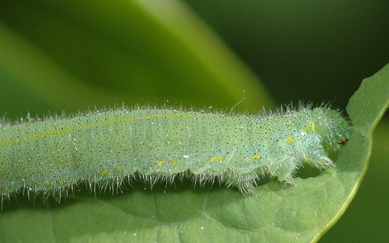 Гусеницы репной белянки на фото