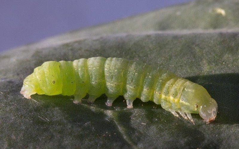 Гусеницы капустной совки на фото