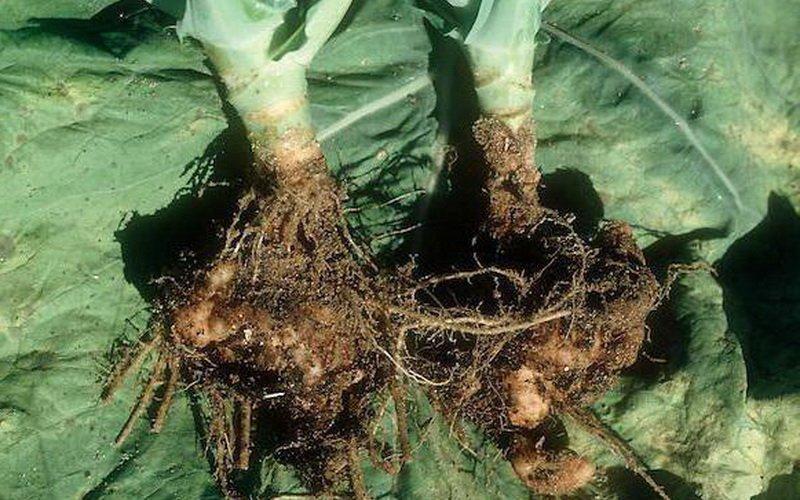 Виды болезней капусты в открытом грунте фото
