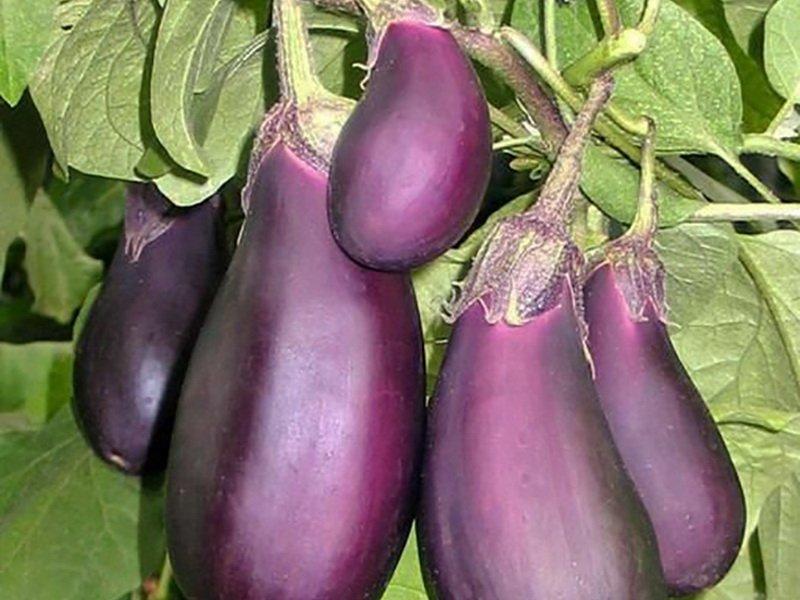 Баклажан «Фиолетовое чудо» F1 на фото