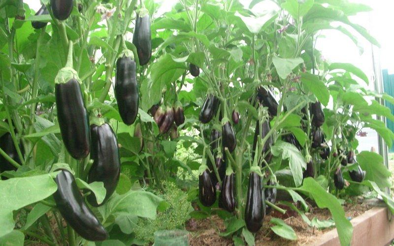 Условия выращивания и уход за баклажанами (с видео)