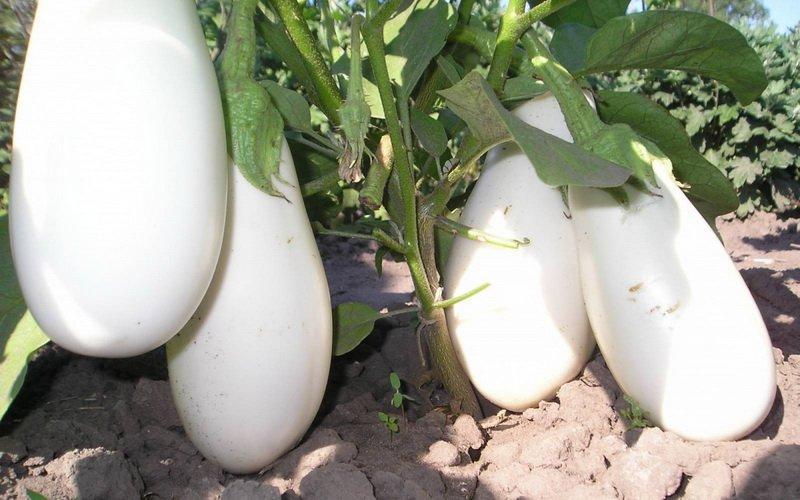 Какие сорта баклажанов самые урожайные