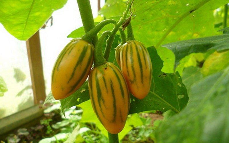 Какие сорта баклажанов самые урожайные фото