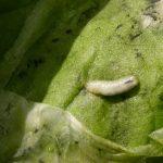 Вредители огурцов виды борьба с ними и лечение с фото